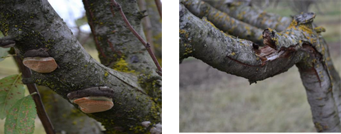 (Left) Figure 1. Fruiting bodies of P. tuberculosus. (Right) Figure 2. Broken limb in young orchard caused by P. tuberculosus.