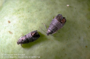 Codling moth on apple. Photo credit: UC IPM Program.