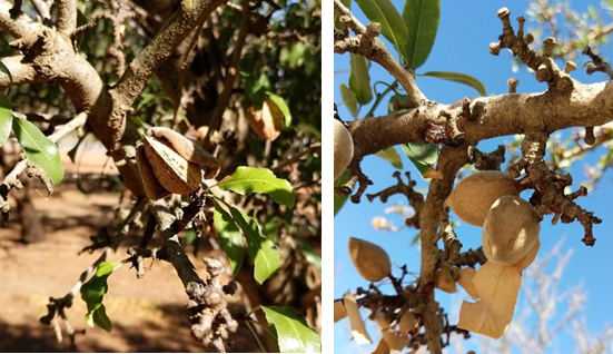 Figure 4. Symptoms of hull rot caused by Phomopsis differ by cultivar. These photos, from the same orchard, show fully split nuts on cv. Mission (left), and unsplit nuts on cv. Butte (right). Sticktights from both trees tested positive for Phomopsis. Photo credit: D. Lightle.