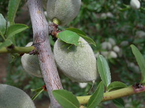 Photo 4. Adult green stink bug on almond. Photo Credit: Integral Ag, Inc.