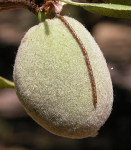 Photo 3. Leaffooted bug egg mass on almond. Photo Credit: Integral Ag, Inc.