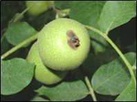 """Walnut fruit with """"end blight"""". Photo credit: J. Adaskaveg and H. Forster."""