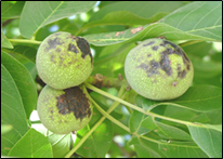 "Photo 5. Walnut fruit with ""side blight"". Photo credit: J. Adaskaveg and H. Forster"