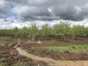 Figure 1. A flooded almond orchard northwest of Chico, CA on April 5th following a localized severe storm on April 2nd (photo by Luke Milliron).
