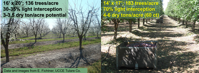 Two orchards with contrasting spacing, light interception and yield potential (courtesy of E. Fichtner and F. Niederholzer).