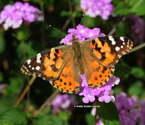 Painted lady butterfly. Photo credit: Kathy Keatley Garvey.