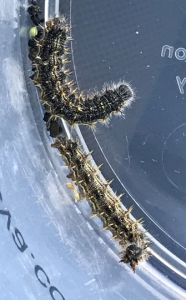 "Painted lady caterpillars. Notice the distinct yellow ""spikes"" along the length of the body. Photo credit: Sac Valley Orchards."