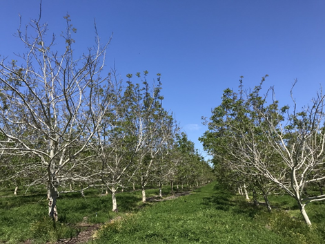 Photo 2. The symptomatic trees in this Chandler block northwest of Chico, CA were predominantly the first couple trees on the southern edge of the block. The overall percentage of symptomatic trees in this block was low (photo: Luke Milliron).