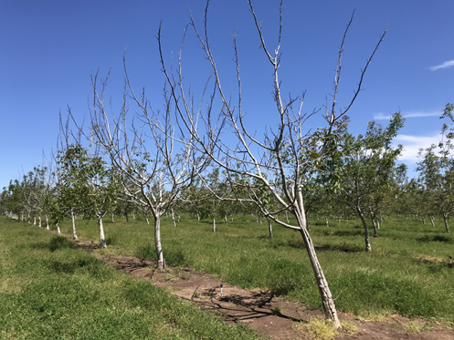 Photo 3. Highly variable severity of symptoms, with sporadic clusters of trees that did not leaf out down each row. At least one-third of the trees in the portion of the orchard depicted above showed symptoms (this orchard is to the southwest of the orchard in photo 2, photo: Luke Milliron)