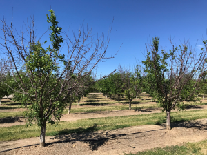 Photo 8. Select patches of trees in this orchard show the extensive dieback consistent with bacterial canker (photo: Luke Milliron).