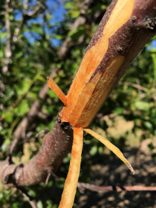 Photo 9. Bacterial canker was very likely the cause of this dieback due to the tell-tale signs of flecks, as well as the fermented/sour-smell associated with the sour sap phase of bacterial canker decline (photos: Luke Milliron).