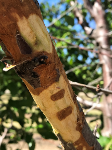 Photo 10. Bacterial canker was very likely the cause of this dieback due to the tell-tale signs discrete patches of canker, as well as the fermented/sour-smell associated with the sour sap phase of bacterial canker decline (photos: Luke Milliron).