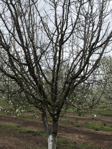 Photo 11. Orchard with canker dieback was first noticed last year when trees were not flowering out, except low in the canopy. Photo: Luke Milliron.