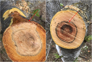 Photo 13. Cut branches showed the classic bark canker margin of Cytospora and other bark cankers (see red arrow, left photo). There was also internal dead tissue that was not spreading along the bark (red arrow, right photo); this was presumed to be Phellinus (i.e. heart rot). However, the diseased wood came back with 100% Cytospora. This was the first time that Michailides had seen Cytospora as a canker internal to the bark (photos: Luke Milliron).