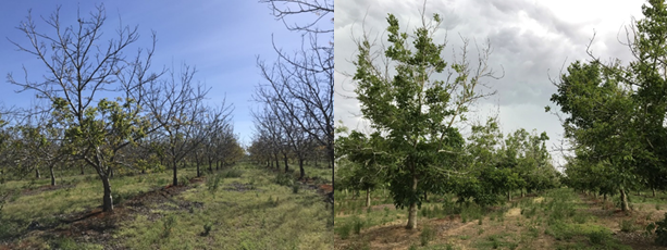 Very little leaf out in this part of a Gridley, CA Chandler orchard on April 22nd (photo 1). Significant canopy development in the same orchard by May 30th (photos: Luke Milliron).