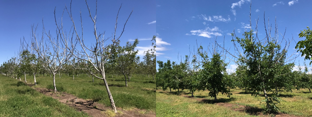 Photos 5 & 6. Clusters of severely affected trees that did not leaf out on April 22nd (photo 5). Substantial canopy growth from the lower/central portion (photo 6) of most of the affected trees in this orchard on May 31st (photos: Luke Milliron).