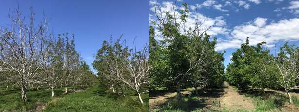 Two trees with very little leaf out at the edge of a Chandler orchard northwest of Chico, CA on April 22nd (photo 3). Significant canopy development (photo 4) of the same two trees on May 31st (Photos: Luke Milliron)