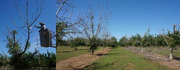 Photos 9 & 10. Selective chainsaw cuts made to a 7th leaf Chandler orchard in Yuba County on May 31st. Photo 9 shows a partially pruned back tree, while photo 10 shows an unpruned row on the left and a pruned row on the right. This severely damaged area was ~13 acres within a 500-acre Chandler orchard on sandy loam soil. The area damaged received only 2 inches of water in mid-October, whereas the undamaged remainder of the orchard received 4 inches of water and later in October. The only exception was one other block which got 2 inches of water but later in October and had some freeze damage also (photos: Janine Hasey).