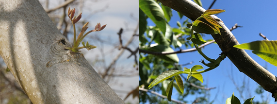 Photo 7 & 8. On otherwise blank branches, some adventitious buds were beginning to push on this Howard tree on April 19 (photo 7, by Janine Hasey). These adventitious buds have continued to break (photo 8) much more recently (photo May 31st, by Luke Milliron).