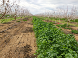 Cover crop in a young almond orchard.