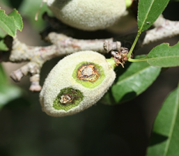 Photo 2. Necrotic lesions inside almond hull caused by bacterial spot infection.
