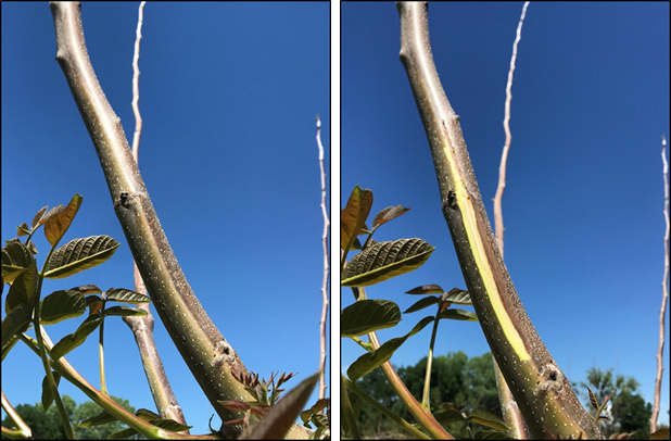 Photos 2 & 3. This characteristic distinct margin of dead and living tissue is typically seen in young orchard blocks. Shown both before (left) and after cutting (right; photos: Luke Milliron).