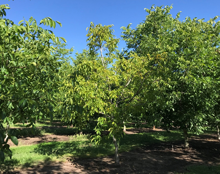 Photo 1. A yellowing Howard on Paradox seedling walnut tree (middle) in-between two larger trees with healthy canopies in an orchard in Chico, CA on May 29, 2019 (photo: Luke Milliron).