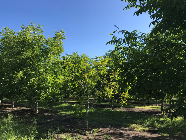 Photo 2. Another yellowing Howard on Paradox seedling walnut tree (in the middle, likely a replant) in-between two larger trees with healthy canopies in an orchard in Chico, CA on May 29, 2019 (photo: Luke Milliron).