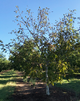 Photo 1. A yellowing and collapsing Livermore on Paradox seedling tree in an orchard near Chico on July 11th (Photo: Luke Milliron).