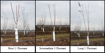 Figure 1-3. Short, intermediate and long pruning after the 1st (primary scaffolds) dormant period (photos: M. L. Poe).