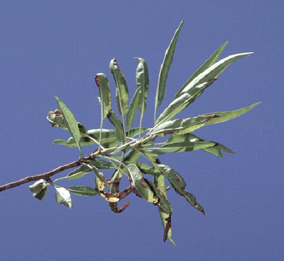 Figure 1. Once new shoots are growing in April and May, pale, potassium deficient leaves roll into a boat shape and develop tip and marginal scorching (photo: UC IPM).
