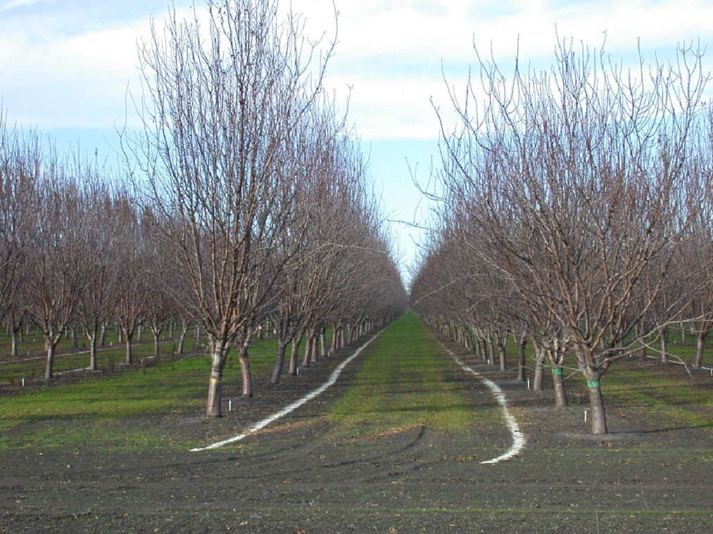 Figure 2. Dormant season band applications of potassium sulfate to every other middle in a non-tilled orchard.