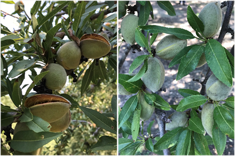 Photo 1&2. Left photo: Nonpareil on Rootpac-R ranged between 60% and 80% hull split on July 27, 2018; on the same day several other rootstocks were less than 5% split (e.g. right photo: Empryean 1).