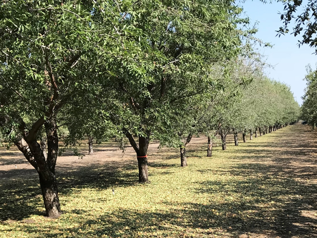 Photo 3. The larger Nonpareil on Nickels (foreground, trees ending in orange flagging tape), followed by Nonpareil on Rootpac-R (beginning with yellow flagging tape – 3rd tree from the left).