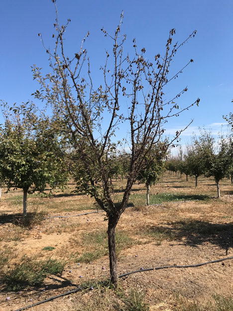 Photo 1. A tree at the Yuba rootstock trial site that likely died of a bacterial canker infection sometime after leaf out in 2018 (photo: Luke Milliron).