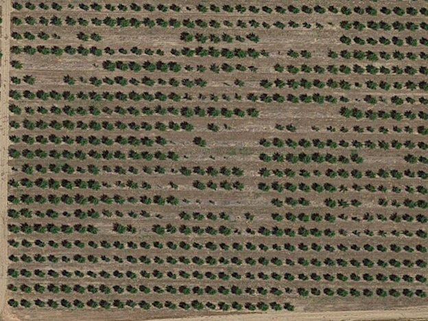 Photo 2. Satellite image of the UCCE prune rootstock plot in Yuba County. Although tree loss was likely from multiple causes, bacterial canker was a significant player. Note gaps of six trees, where there are rootstock treatments with large, healthy canopies surrounding them (Google©, Imagery Maxar Technologies ©2019, and U.S. Geological Survey map data ©2019).