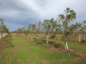 Photo 1. Young walnut orchards, like the one shown above, are particularly susceptible to early freeze events. However, both young and mature walnut orchards were damaged by a freeze event in November of 2018 (photo by Luke Milliron).