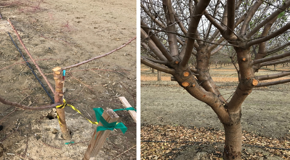 Left: Pruning wounds left after scaffold selection on 1st leaf almond tree. Right: Pruning wounds on the main scaffolds of a mature tree. (photos: Leslie Holland)