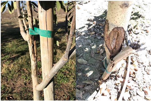 Photo 2 & 3. Photo 2 (left) shows a young, tightly staked tree with rubbing damage to the vascular tissue. Photo 3 (right) shows an extreme example of rubbing damage from a stake never being removed on a mature replant (photos: Luke Milliron)