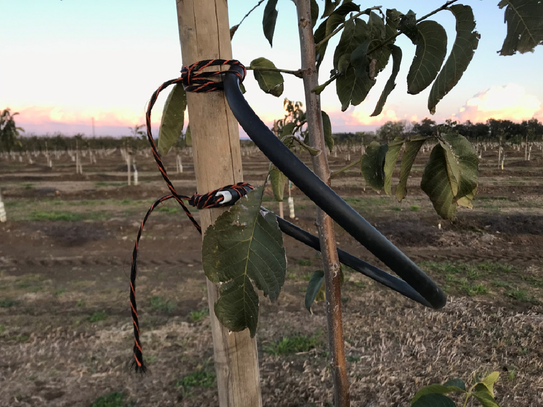 Photo 8. An innovative grower tying approach of utilizing reinforced drip tubing. This allows the young trunk to flex in the wind and the setup can be reused in subsequent orchards (photo: Luke Milliron)