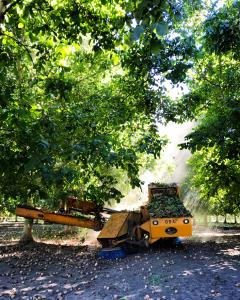 Harvest at a UC walnut rootstock trial. Photo credit: Luke Milliron 2019