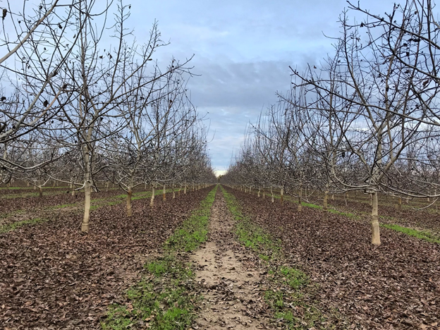 Photo 2. Growers are weighing winter (dormant) irrigation in walnuts and prunes (photo by Luke Milliron).