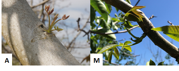 Photo 1. On otherwise blank branches, some adventitious buds were beginning to push on this Howard tree on April 19 (A, by Janine Hasey). These adventitious buds appeared to continue to break later into spring (M, photo May 31st, by Luke Milliron).
