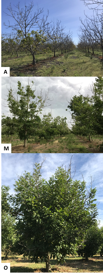 Photo 2. Very little leaf out in this part of a Gridley, CA Chandler orchard on April 22nd (A). Significant canopy development in the same orchard by May 30th (M) and finally on October 16 (O). (photos: Luke Milliron).