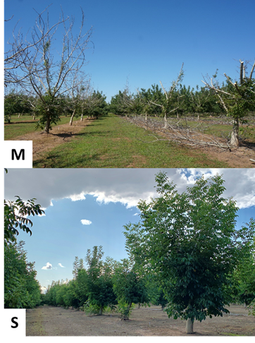 Photo 3. Selective chainsaw cuts made to a 7th leaf Chandler orchard in Yuba County on May 31st. Photo (M) shows an unpruned row on the left and a pruned row on the right. Photo (S) shows the substantial and healthy-looking regrowth as of September 30, 2019. (photos: Janine Hasey).