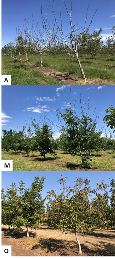 Photo 6. Clusters of severely affected trees that did not leaf out on April 22nd (photo 5). Substantial canopy growth from the lower/central portion (photo 6) of most of the affected trees in this orchard on May 31st. However, like the adjacent mature block (photo 3), many of the freeze affected trees in this younger Chandler block showed yellowing leaves/collapsing canopies on October 11th (O). (Photos: Luke Milliron).