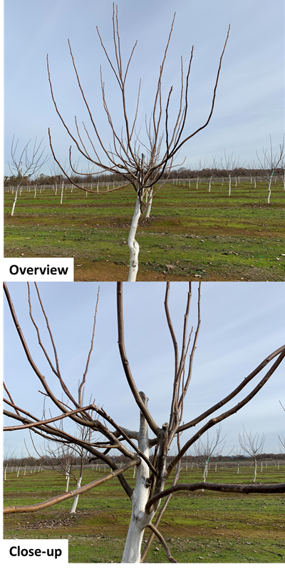"""Photo 7. 3 year old Chandler on Vlach walnut tree in Placer County trained in the """"no prune/no head system"""", that had severe freeze damage and good limb regrowth. (Photos: Janine Hasey, January 15, 2020)."""