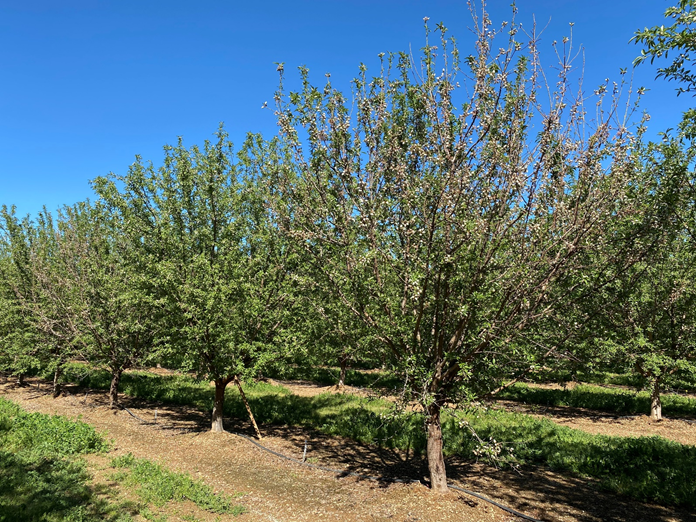 Photo 1. A fifth leaf row of alternating Monterey and Nonpareil on Krymsk 86 in Tehama County. Although the Nonpareil trees showed subtle symptoms of leaf out delay, many of the Monterey trees (e.g. foreground tree) showed severe symptoms (photo by Luke Milliron, March 19, 2020).