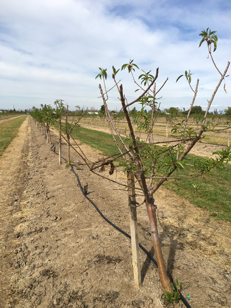 Photo 2. Second leaf Bennett Hickman on Bright's Hybrid®5 rootstock with leafing failure symptoms (Merced County, photo by Phoebe Gordon).