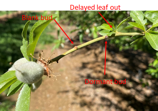 Photo 3. Monterey shoot with normal proximal (tip) and basal (base) leaf out, and delayed leaf out or blank buds in-between (March 19, 2020, 5th leaf orchard in Tehama County, photo by Luke Milliron).